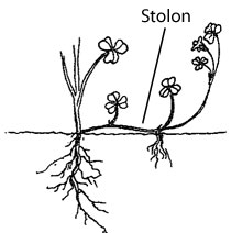 Creeping growth habit, spreading by aboveground stolons.