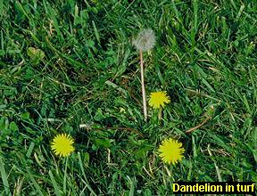 Dandelion in turf